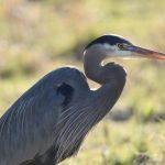 Location: Ridgefield National Wildlife Refuge. Ridgefield, Washington 23 Jan 2021 -- life list #12