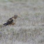 Location: Ridgefield National Wildlife Refuge. Ridgefield, Washington 23 Jan 2021 -- life list #100