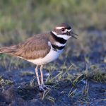 Location: Ridgefield National Wildlife Refuge, Washington 24 Feb 2021 -- life list #13