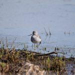Location: Ridgefield National Wildlife Refuge -- 17 Mar 2021 - life list #174
